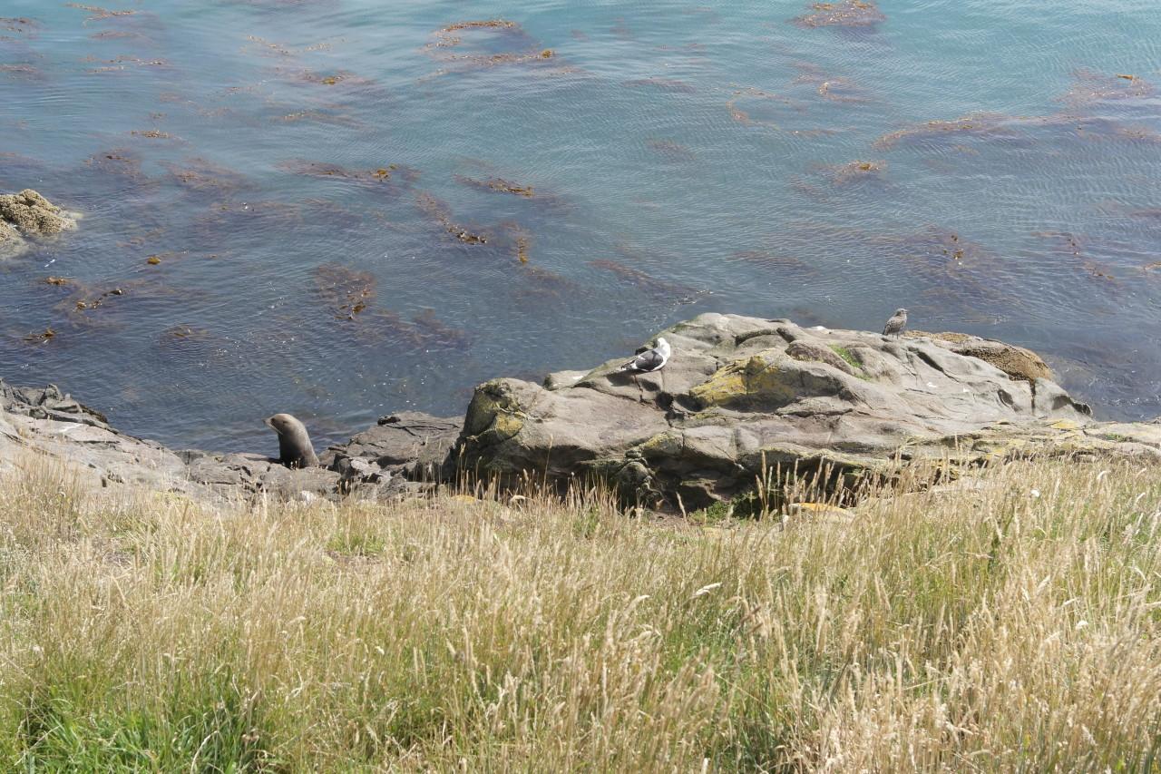 007 Moeraki Seal Gull Bird