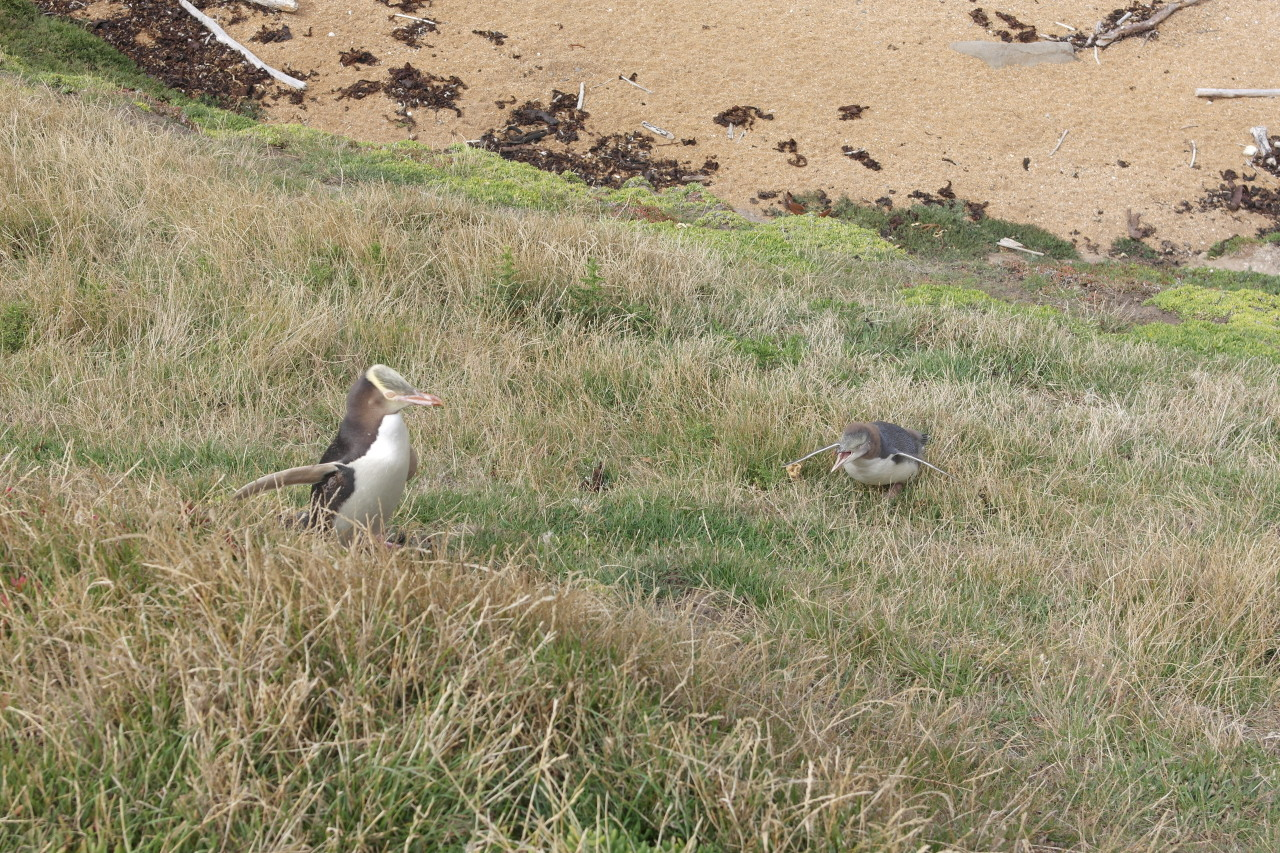 007 Moeraki Penguin And Young One Crying
