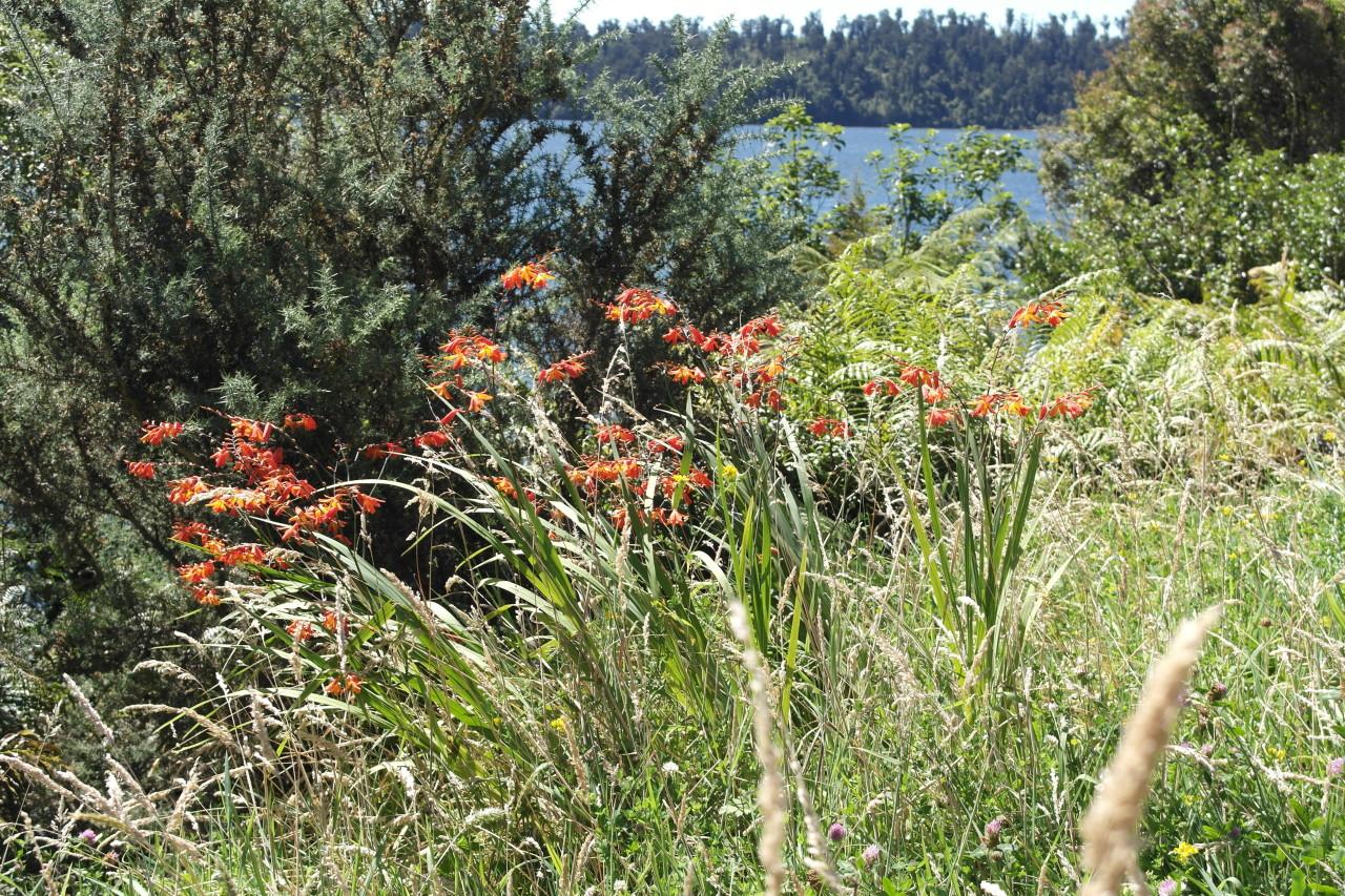 Am Lake Ianthe konnte ich erstmals diese roten Blumen fotografieren. Sie wachsen hier überall, vor allem am Straßenrand und geben dem ganzen Grün einen netten Farbtupfer.