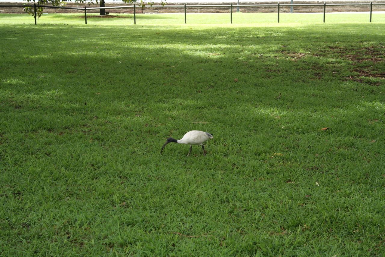 Dieser seltsame krummschnabelige Vogel ist überall. Die Vögel hier haben sowieso sehr seltsame Rufe. Anfangs war ich mir nicht sicher, ob es sich um einen Alarm, betrunkene Frösche oder eine surrende Elektrizitätsleitung handelt ;-)
