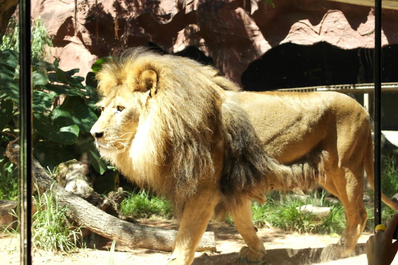 Der Löwe...